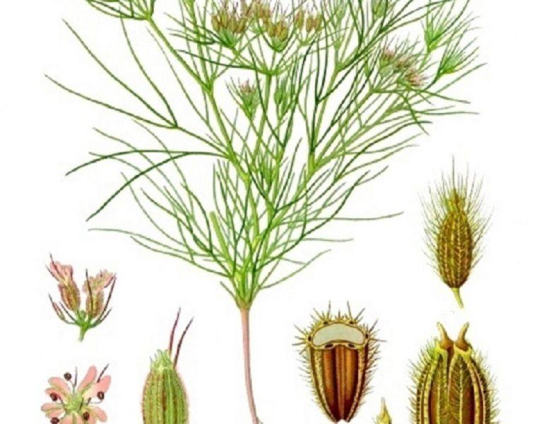 Семена кумина (зиры) — применение специй